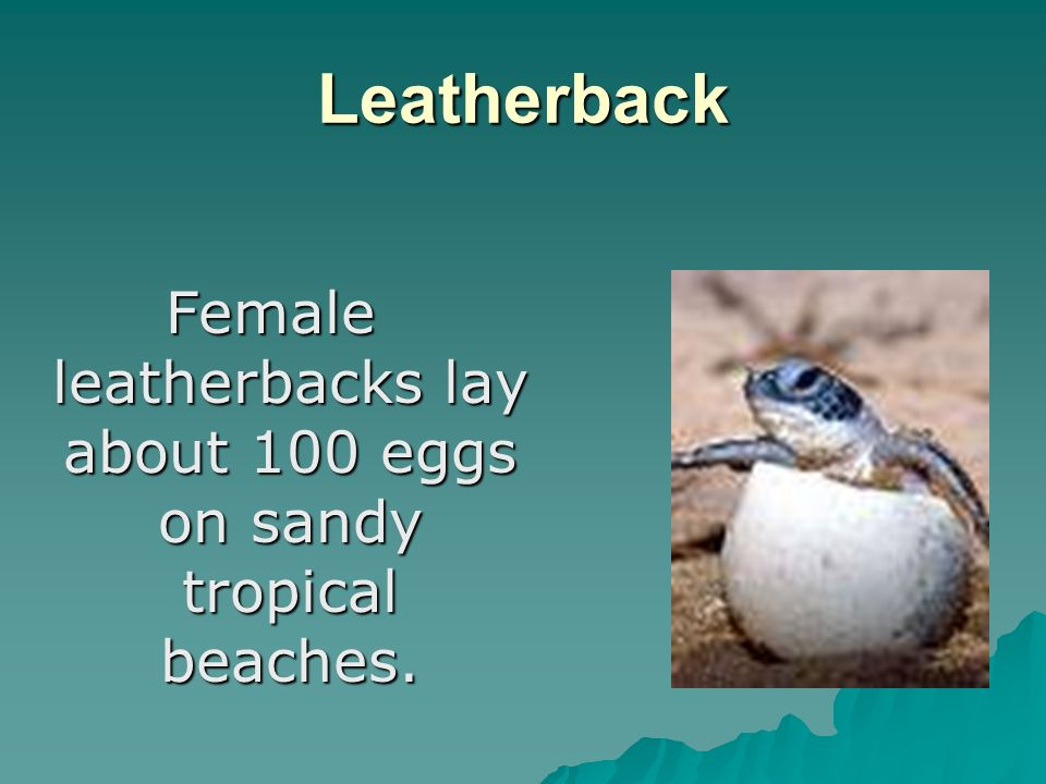 Leatherback Female leatherbacks lay about 100 eggs on sandy tropical beaches.