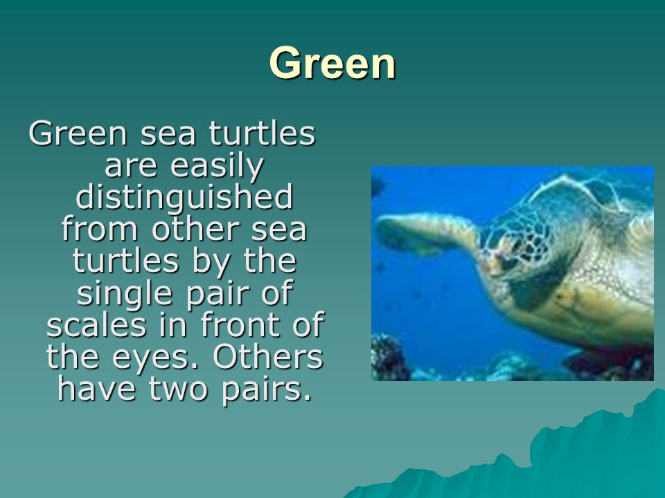 Green Green sea turtles are easily distinguished from other sea turtles by the single pair of scales in front of the eyes.