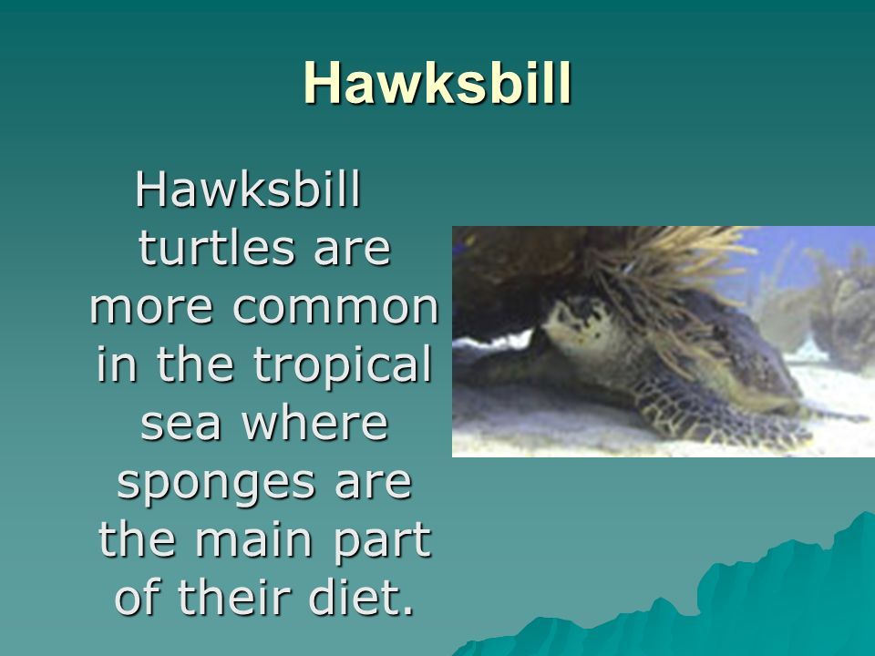 Hawksbill Hawksbill turtles are more common in the tropical sea where sponges are the main part of their diet.