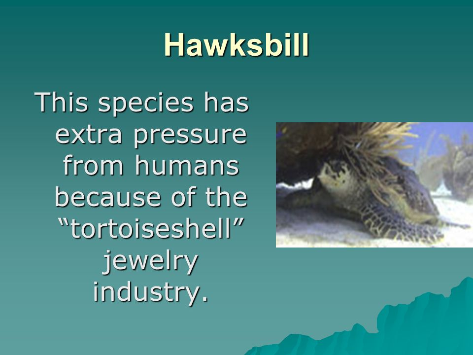 Hawksbill This species has extra pressure from humans because of the tortoiseshell jewelry industry.