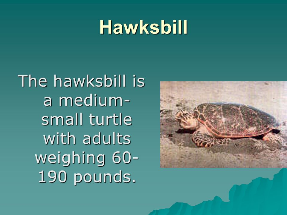 Hawksbill The hawksbill is a medium- small turtle with adults weighing pounds.