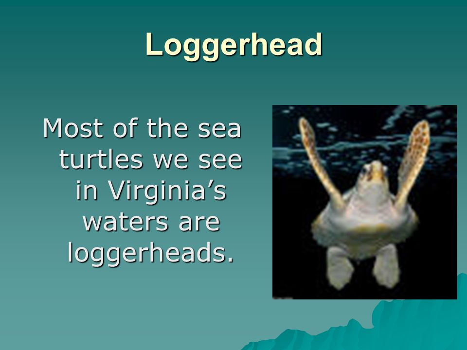 Loggerhead Most of the sea turtles we see in Virginias waters are loggerheads.