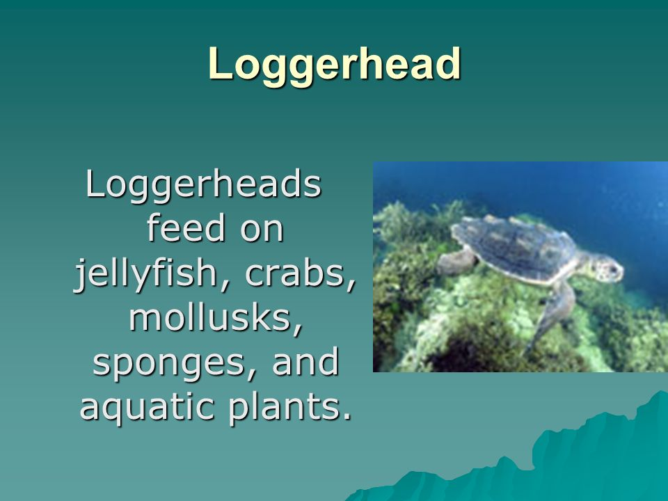 Loggerhead Loggerheads feed on jellyfish, crabs, mollusks, sponges, and aquatic plants.