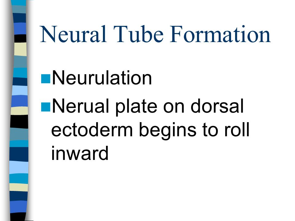 Neural Tube Formation Neurulation Nerual plate on dorsal ectoderm begins to roll inward