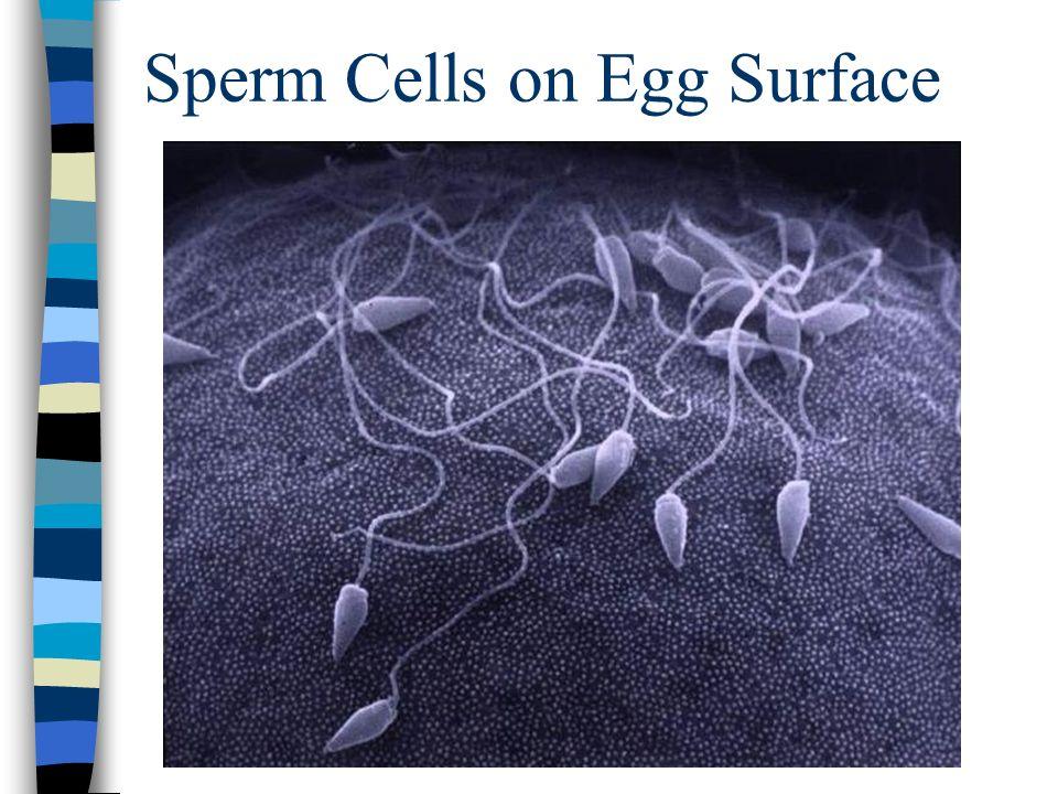 Sperm Cells on Egg Surface
