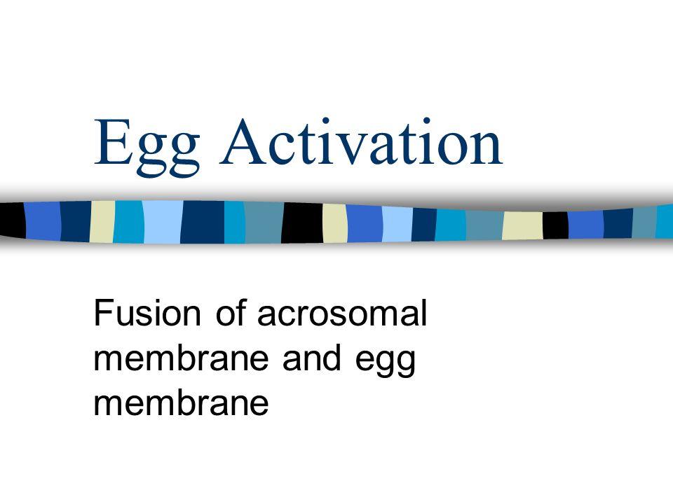Egg Activation Fusion of acrosomal membrane and egg membrane