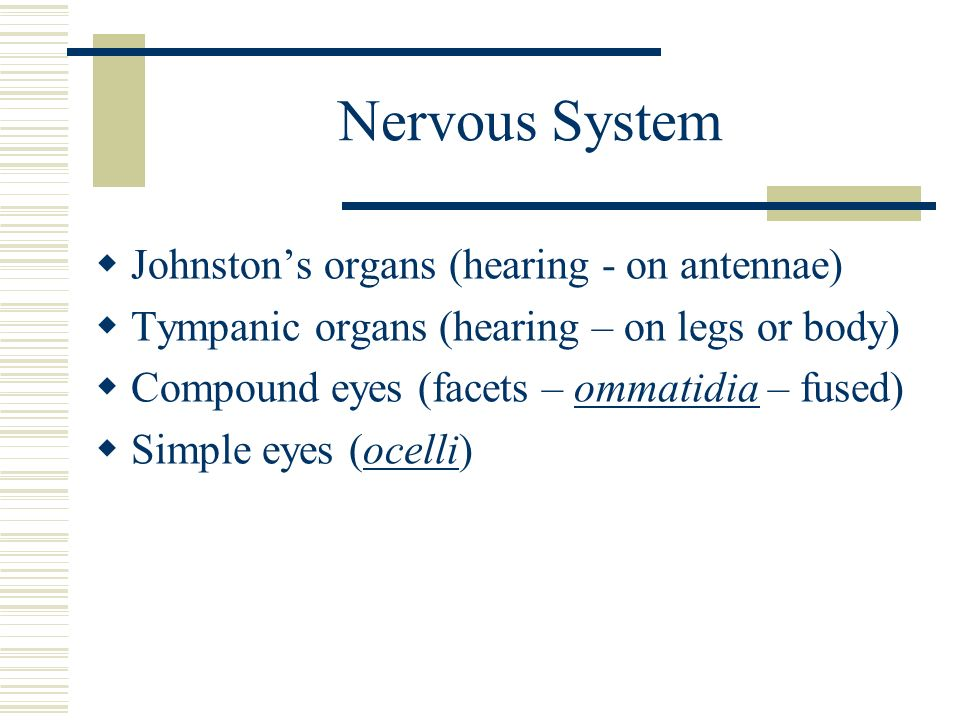 Nervous System Johnstons organs (hearing - on antennae) Tympanic organs (hearing – on legs or body) Compound eyes (facets – ommatidia – fused) Simple