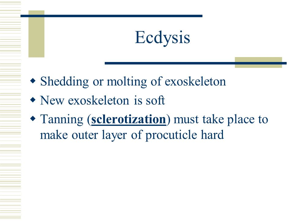 Ecdysis Shedding or molting of exoskeleton New exoskeleton is soft Tanning (sclerotization) must take place to make outer layer of procuticle hard