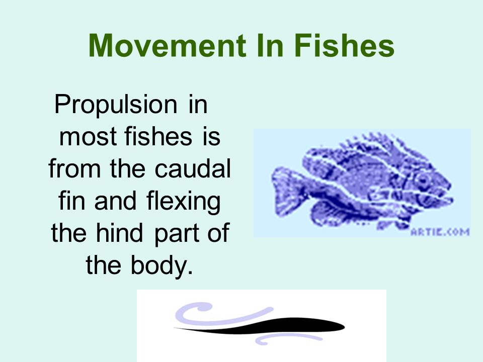 Movement In Fishes Propulsion in most fishes is from the caudal fin and flexing the hind part of the body.
