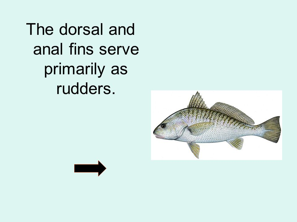 The dorsal and anal fins serve primarily as rudders.