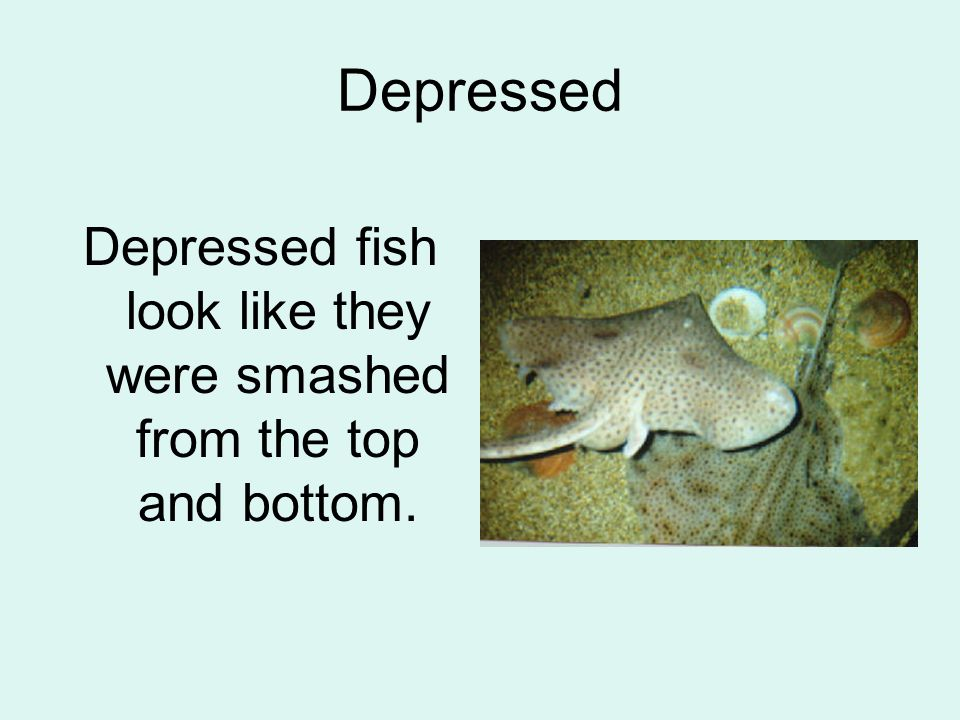 Depressed Depressed fish look like they were smashed from the top and bottom.