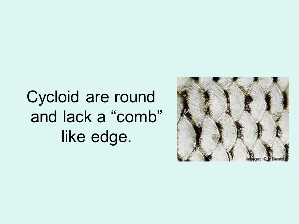 Cycloid are round and lack a comb like edge.