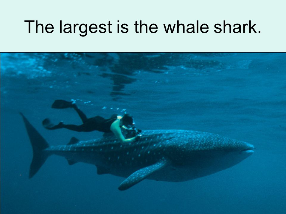 The largest is the whale shark.
