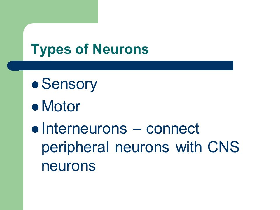 Types of Neurons Sensory Motor Interneurons – connect peripheral neurons with CNS neurons