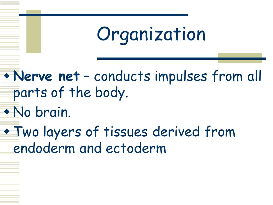Organization Nerve net – conducts impulses from all parts of the body. No brain. Two layers of tissues derived from endoderm and ectoderm