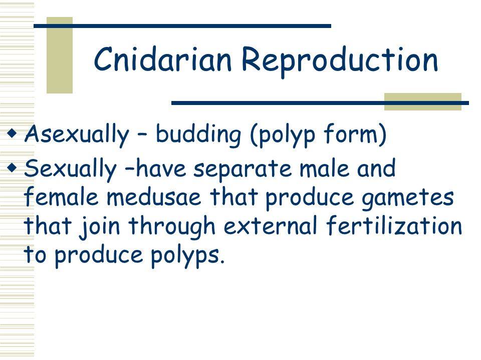 Cnidarian Reproduction Asexually – budding (polyp form) Sexually –have separate male and female medusae that produce gametes that join through externa