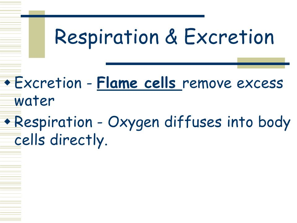 Respiration & Excretion Excretion - Flame cells remove excess water Respiration - Oxygen diffuses into body cells directly.