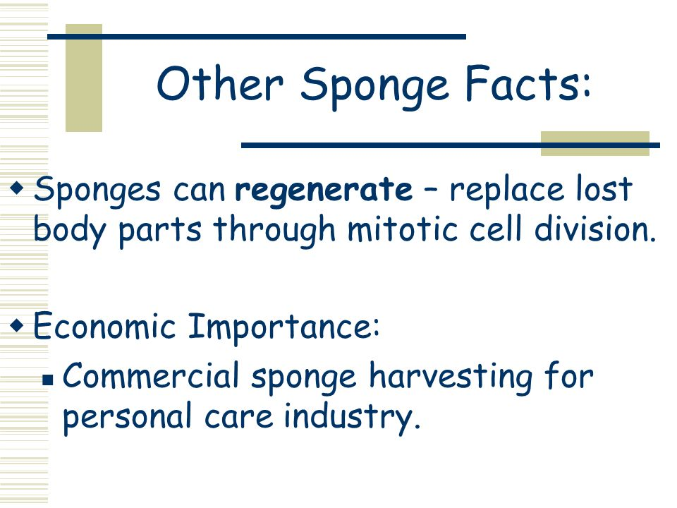 Other Sponge Facts: Sponges can regenerate – replace lost body parts through mitotic cell division. Economic Importance: Commercial sponge harvesting