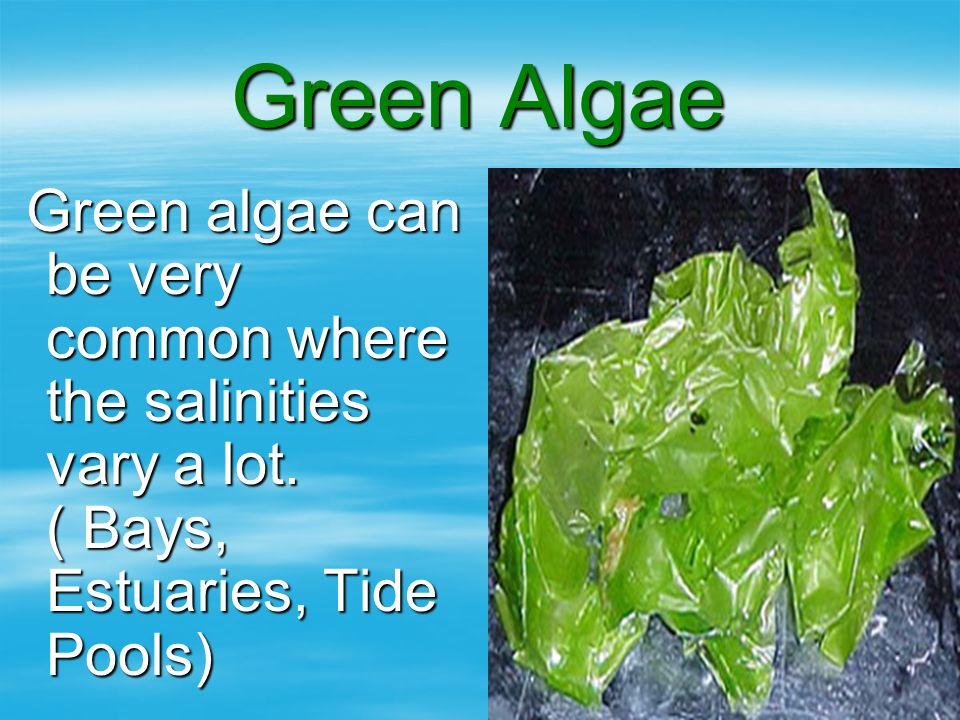 Green Algae Green algae can be very common where the salinities vary a lot. ( Bays, Estuaries, Tide Pools) Green algae can be very common where the sa
