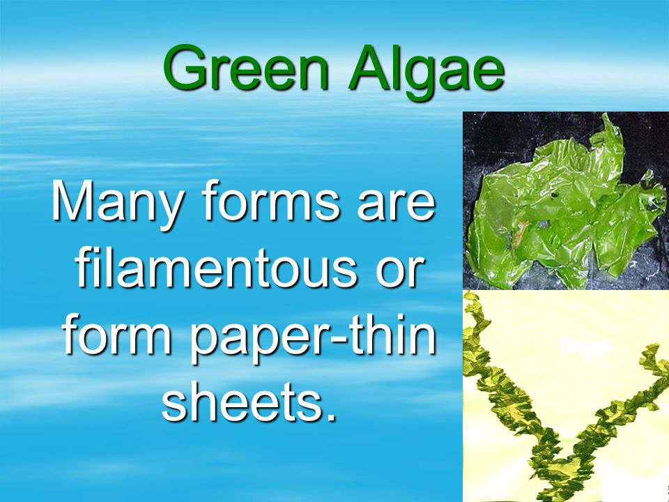 Green Algae Many forms are filamentous or form paper-thin sheets. Many forms are filamentous or form paper-thin sheets.