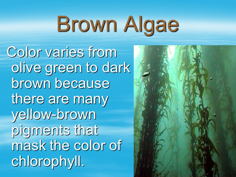 Brown Algae Color varies from olive green to dark brown because there are many yellow-brown pigments that mask the color of chlorophyll. Color varies