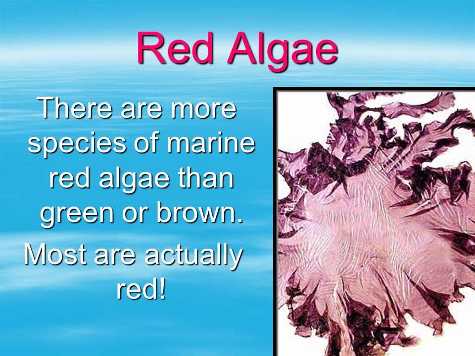 Red Algae There are more species of marine red algae than green or brown. There are more species of marine red algae than green or brown. Most are act
