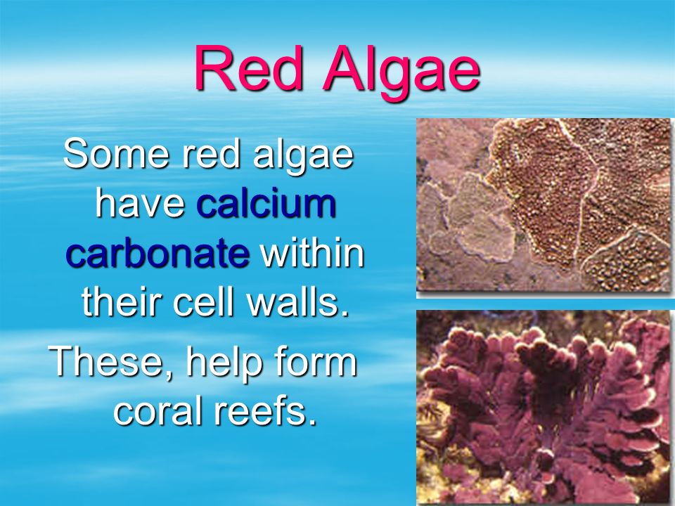 Red Algae Some red algae have calcium carbonate within their cell walls. Some red algae have calcium carbonate within their cell walls. These, help fo