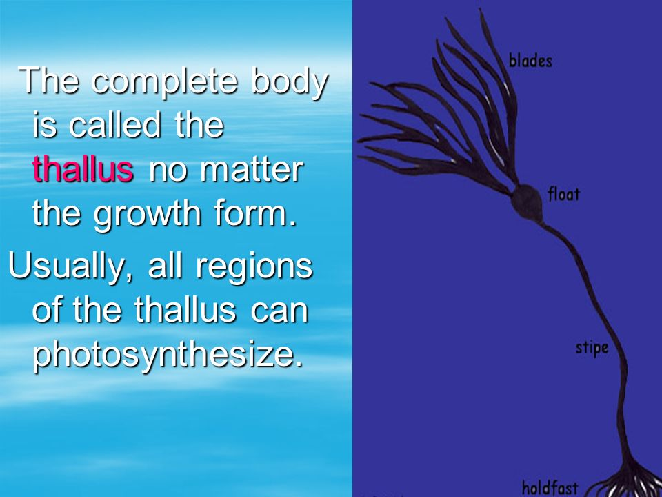 The complete body is called the thallus no matter the growth form. The complete body is called the thallus no matter the growth form. Usually, all reg