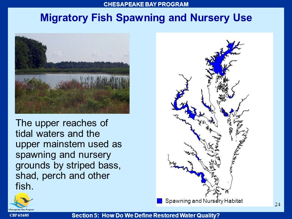 CBP 6/16/05 CHESAPEAKE BAY PROGRAM 24 Migratory Fish Spawning and Nursery Use Section 5: How Do We Define Restored Water Quality? The upper reaches of