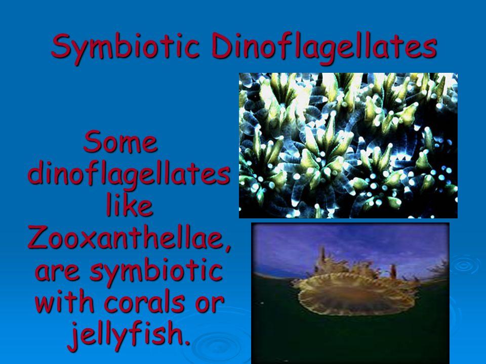 Symbiotic Dinoflagellates Some dinoflagellates like Zooxanthellae, are symbiotic with corals or jellyfish.