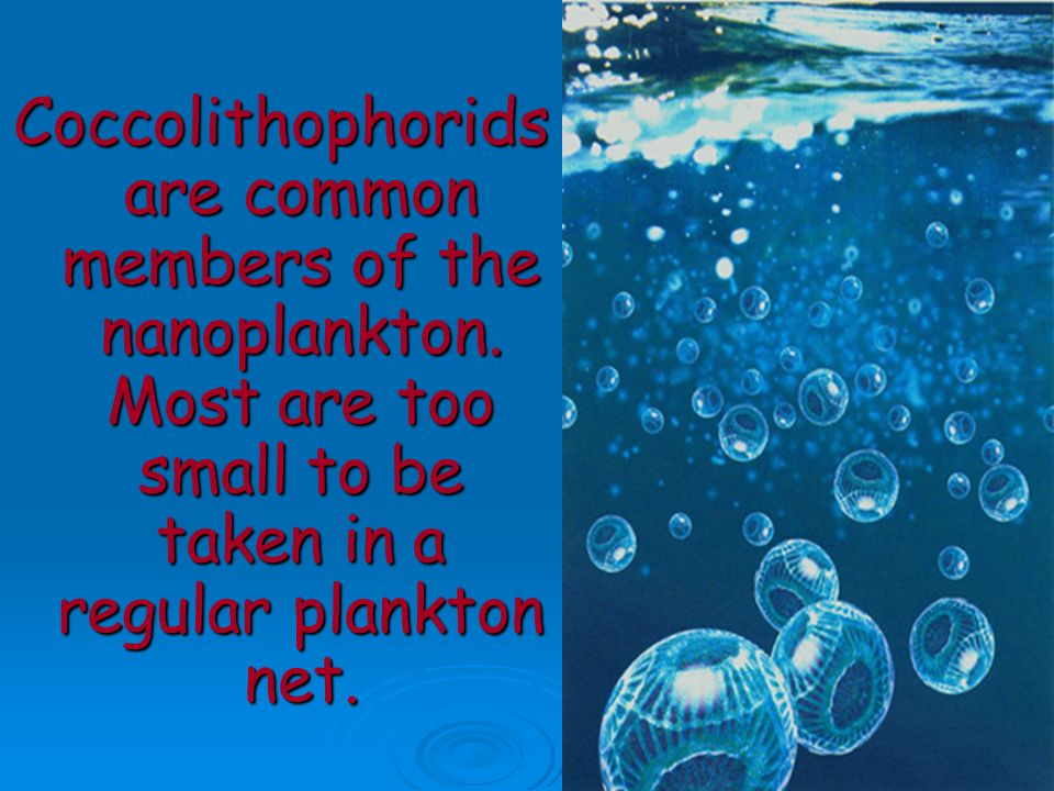 Coccolithophorids are common members of the nanoplankton. Most are too small to be taken in a regular plankton net.