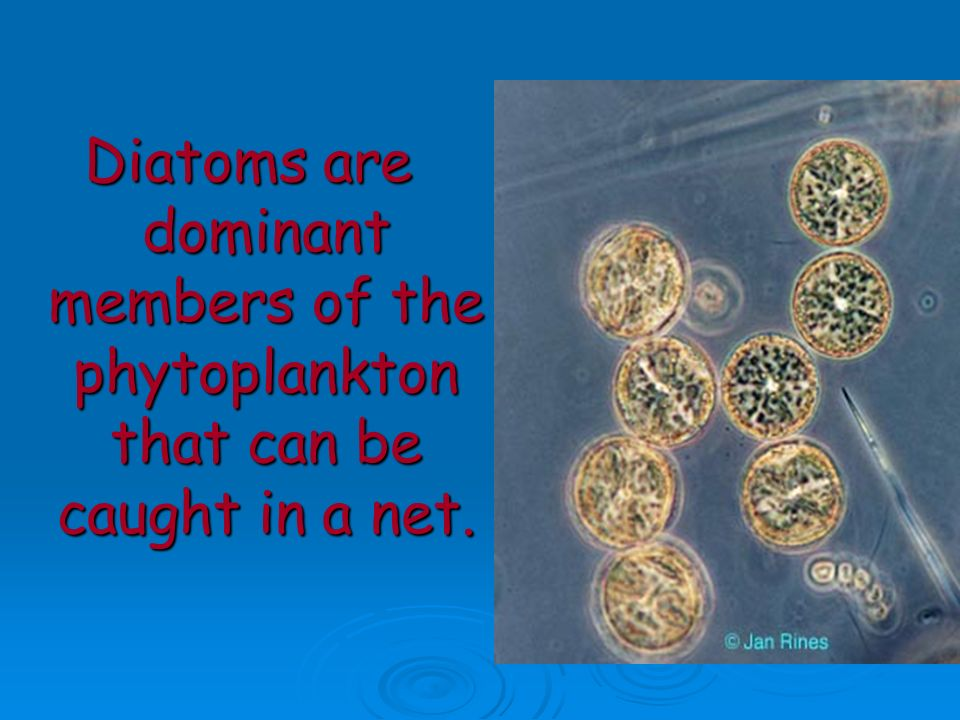 Diatoms are dominant members of the phytoplankton that can be caught in a net.