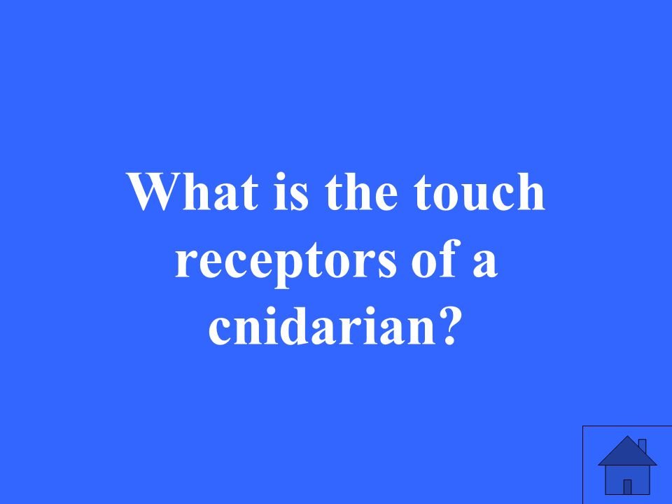 What is the touch receptors of a cnidarian?