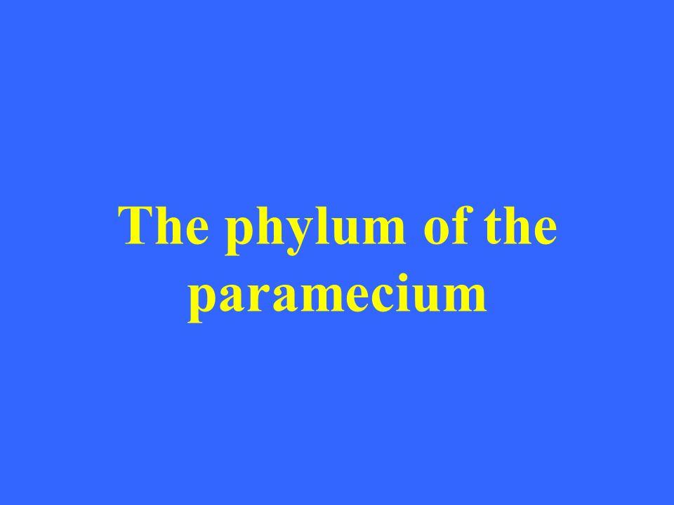 The phylum of the paramecium