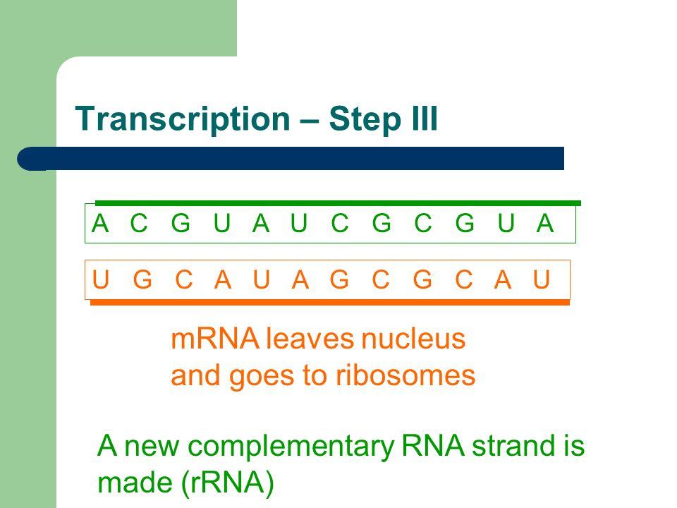 Transcription – Step III mRNA leaves nucleus and goes to ribosomes U G C A U A G C G C A U A new complementary RNA strand is made (rRNA) A C G U A U C