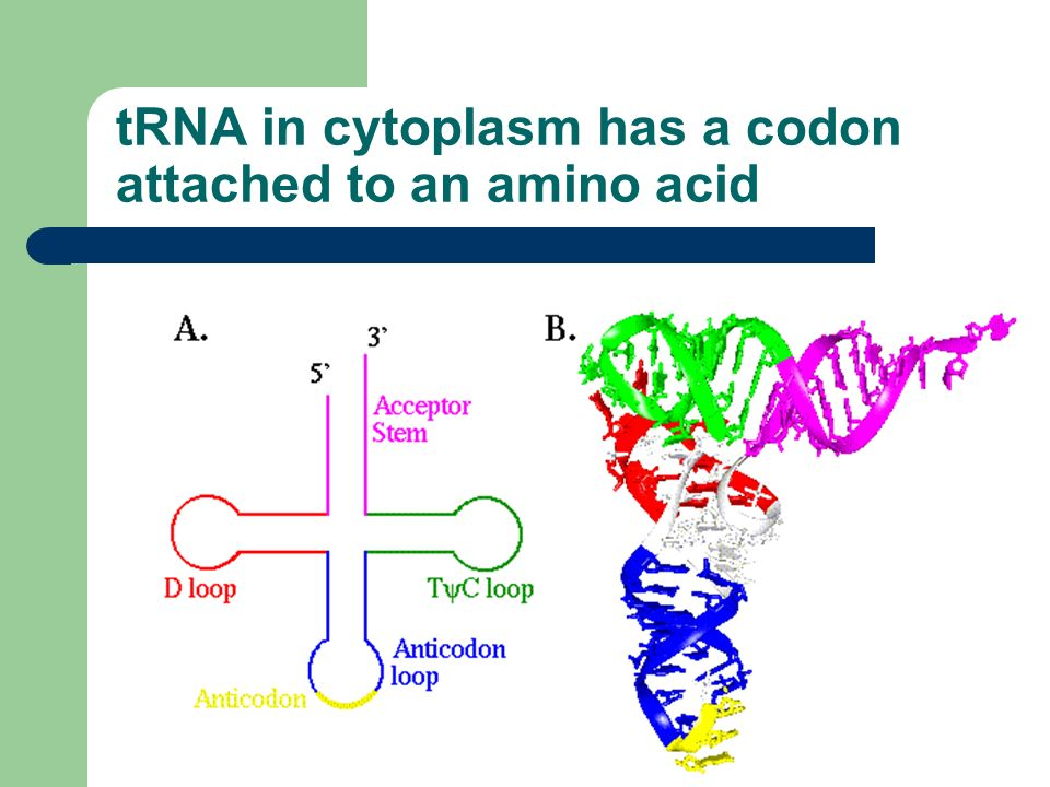 tRNA in cytoplasm has a codon attached to an amino acid
