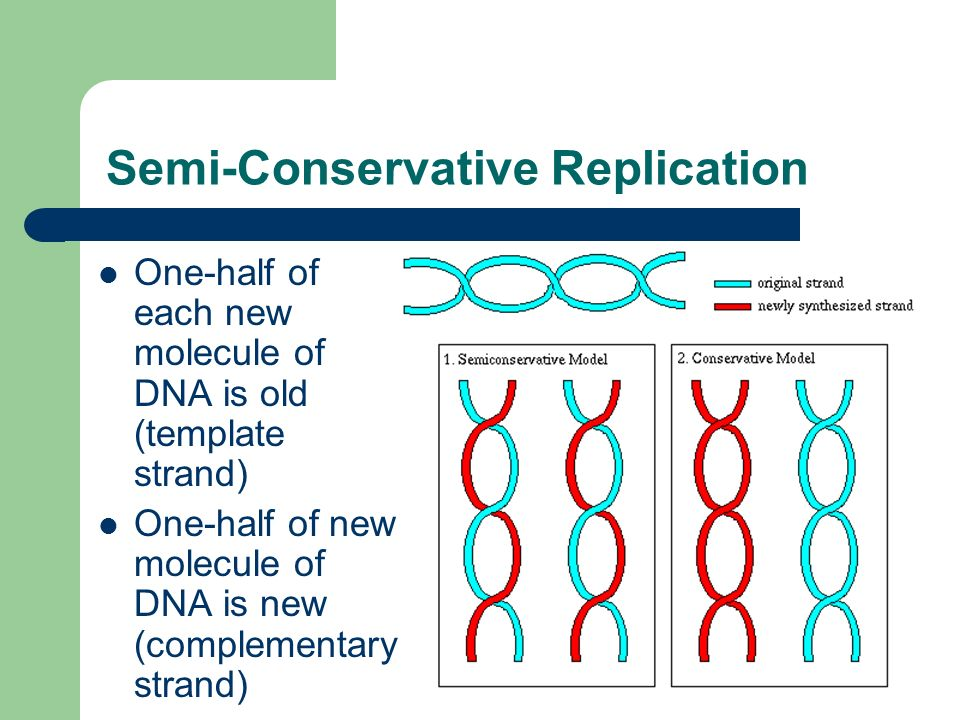 Semi-Conservative Replication One-half of each new molecule of DNA is old (template strand) One-half of new molecule of DNA is new (complementary stra