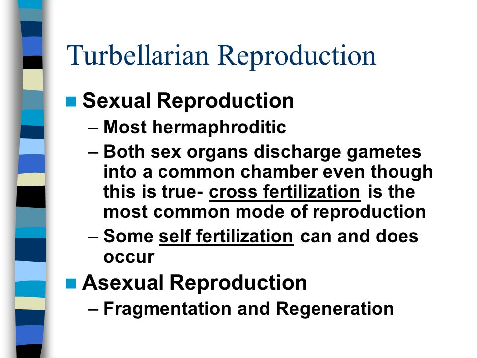 Turbellarian Reproduction Sexual Reproduction –Most hermaphroditic –Both sex organs discharge gametes into a common chamber even though this is true-