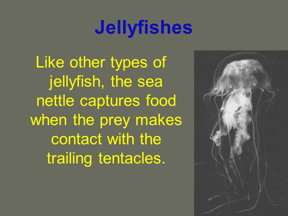 Jellyfishes Like other types of jellyfish, the sea nettle captures food when the prey makes contact with the trailing tentacles.
