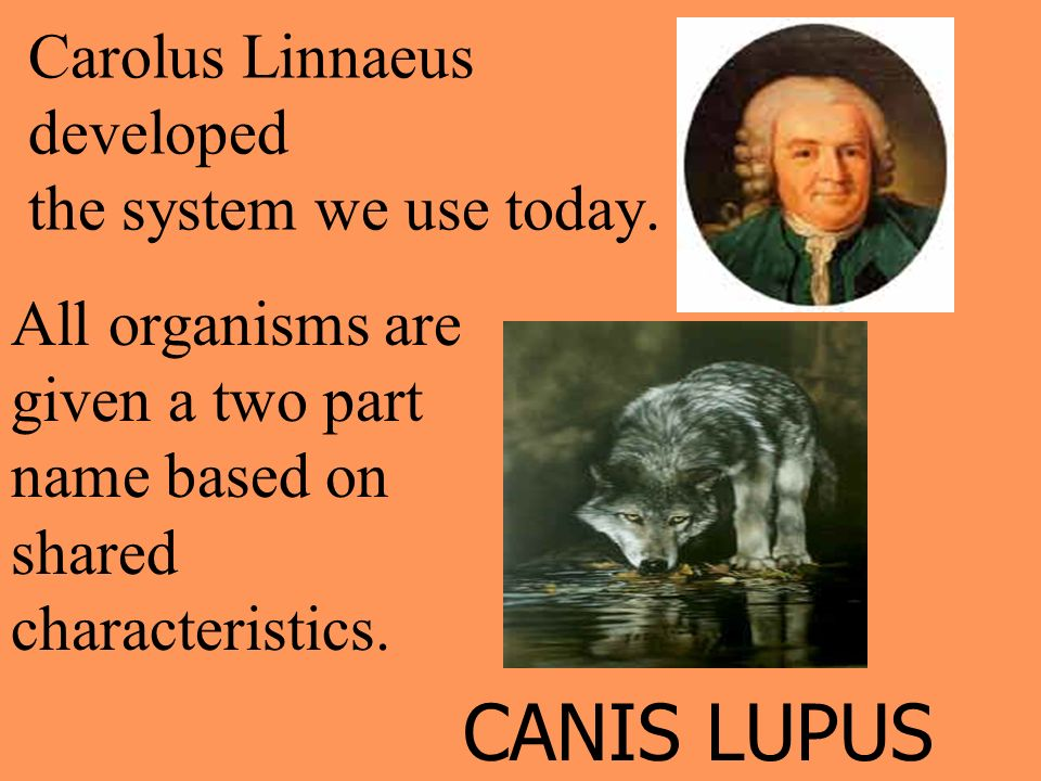 Carolus Linnaeus developed the system we use today. All organisms are given a two part name based on shared characteristics. CANIS LUPUS