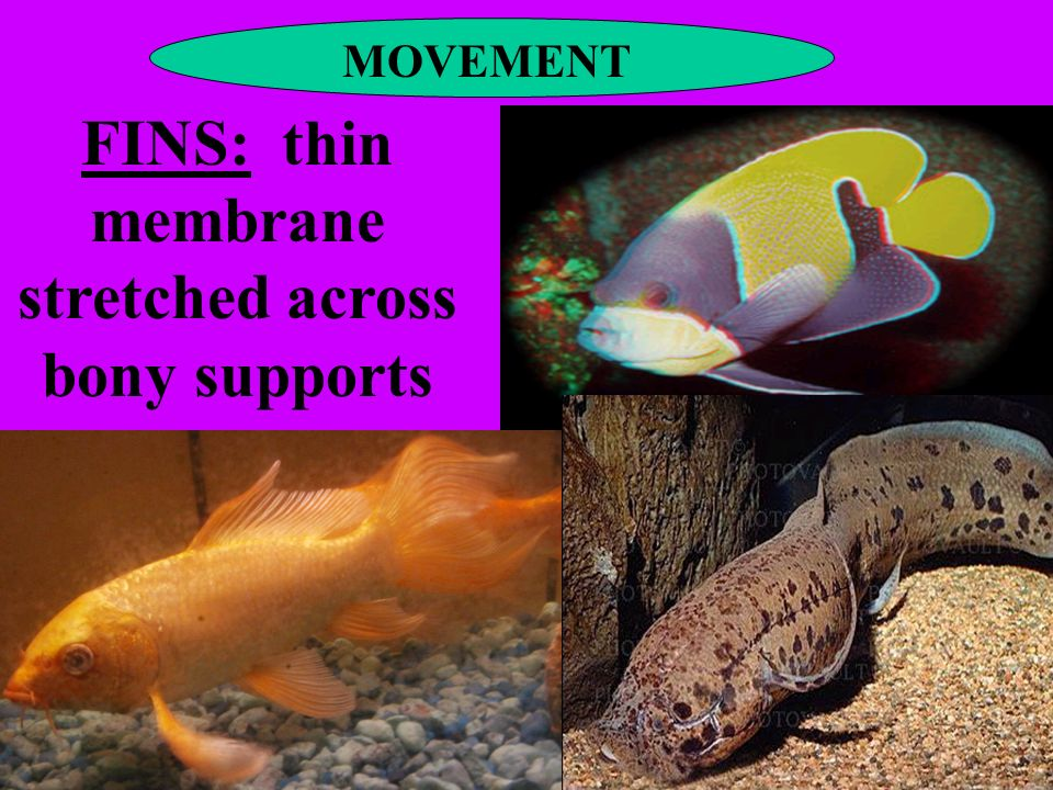 MOVEMENT FINS: thin membrane stretched across bony supports