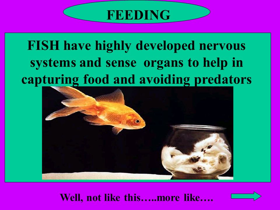 FEEDING FISH have highly developed nervous systems and sense organs to help in capturing food and avoiding predators Well, not like this…..more like….