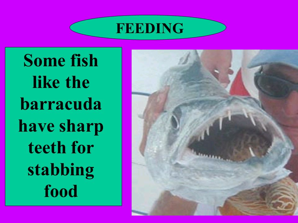 FEEDING Some fish like the barracuda have sharp teeth for stabbing food