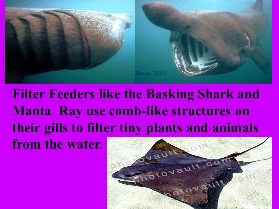 Filter Feeders like the Basking Shark and Manta Ray use comb-like structures on their gills to filter tiny plants and animals from the water.