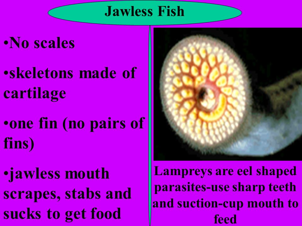 Jawless Fish No scales skeletons made of cartilage one fin (no pairs of fins) jawless mouth scrapes, stabs and sucks to get food Lampreys are eel shap
