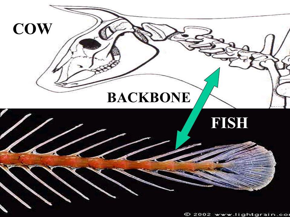 COW FISH BACKBONE