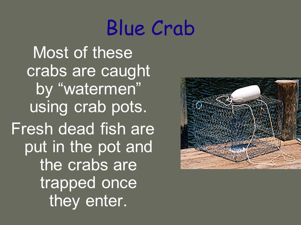 Blue Crab Most of these crabs are caught by watermen using crab pots.