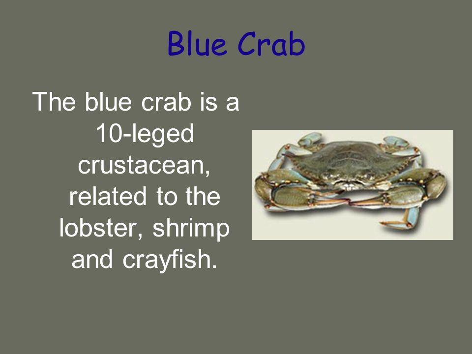 Blue Crab The blue crab is a 10-leged crustacean, related to the lobster, shrimp and crayfish.
