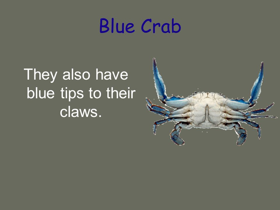 Blue Crab They also have blue tips to their claws.