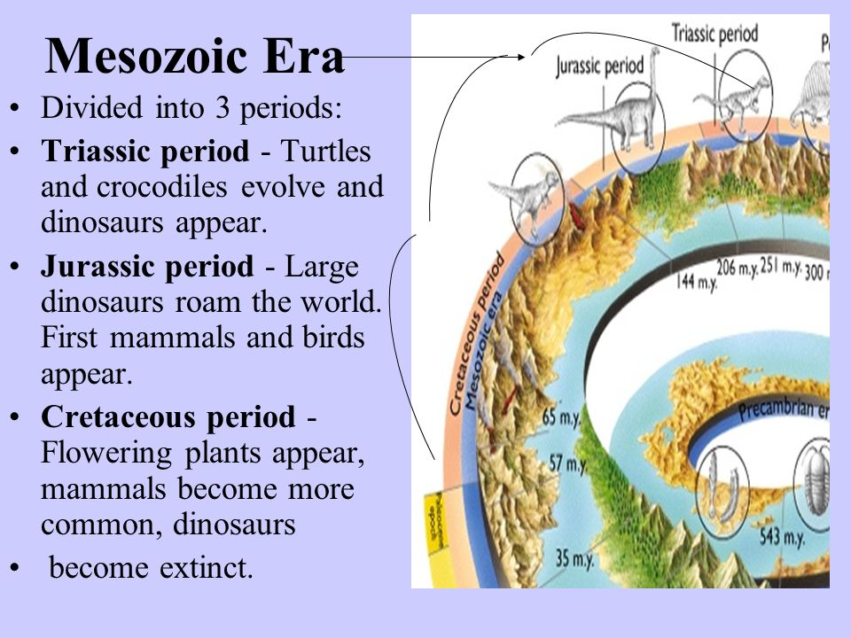 Mesozoic Era Divided into 3 periods: Triassic period - Turtles and crocodiles evolve and dinosaurs appear. Jurassic period - Large dinosaurs roam the